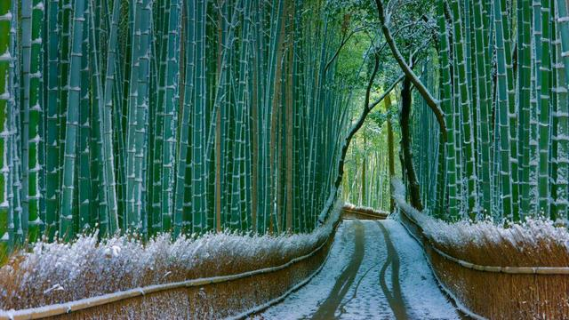 Sagano_bamboo_forest_in_Kyoto